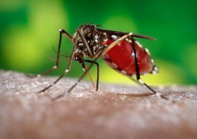 Mosquito Aedes Aegipti, vector de la enfermedad.