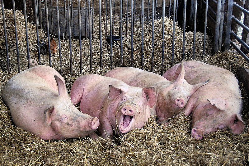 La influenza porcina es una enfermedad respiratoria de los cerdos causada por el virus de la influenza tipo A