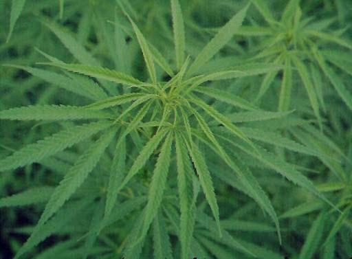 La cannabis podria tener aplicacion para tratar tumores